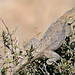 Small photo of Ground Agama (Agama aculeata) male