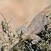 Small photo of Ground Agama (Agama aculeata) male