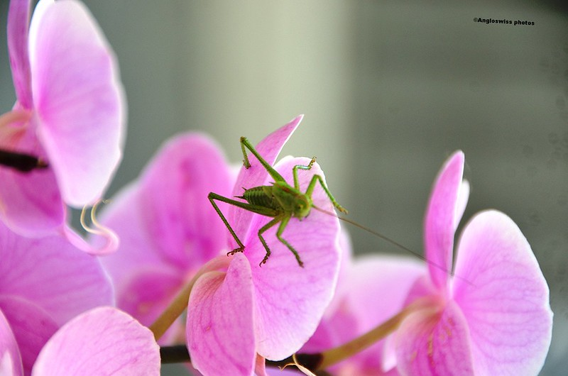 Grasshopper on orchid