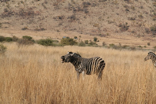 Hee haw says the zebra