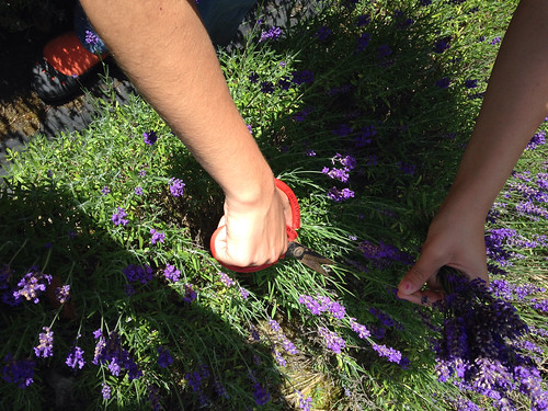 Lavender Harvest & Steam Distillation Festival at Sacred Mountain Farm