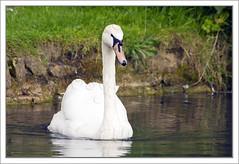 Swan on Pond