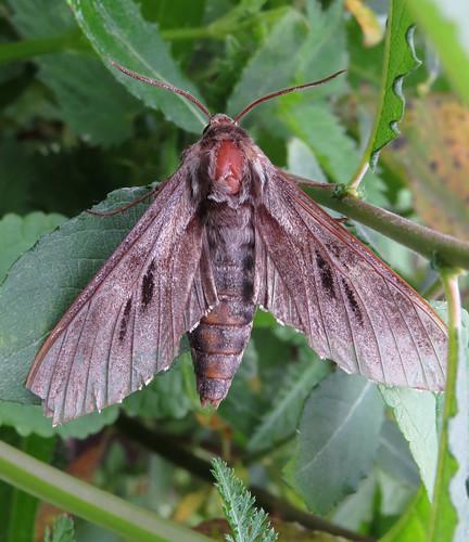 Pine Hawk-moth Sphinx pinastri Tophill Low NR, East Yorkshire July 2015