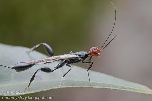 Stephanidae wasp_MG_0505 copy