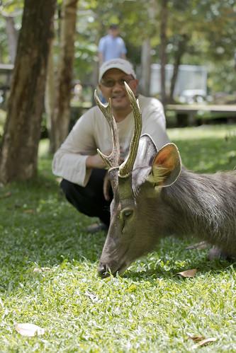 male sambar deer, Rusa unicolor_MG_0794