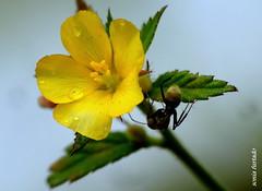 Quinta-flower 3