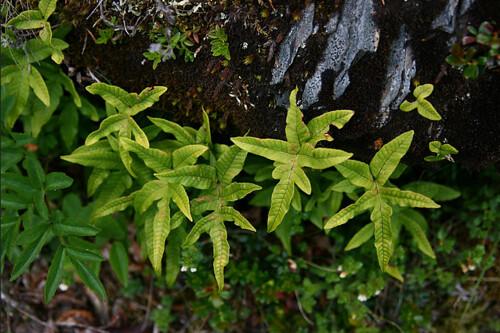而海拔分布最高的附生蕨是玉山茀蕨,在接近樹木界線的雪山冷杉林中都還可以看到。圖片攝影:徐嘉君。