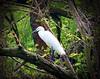 Egretta garzetta - Little egret by ermenegildore