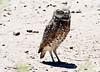 Burrowing Owl (Athene cunicularia); Belen Wetlands, NM [Lou Feltz]