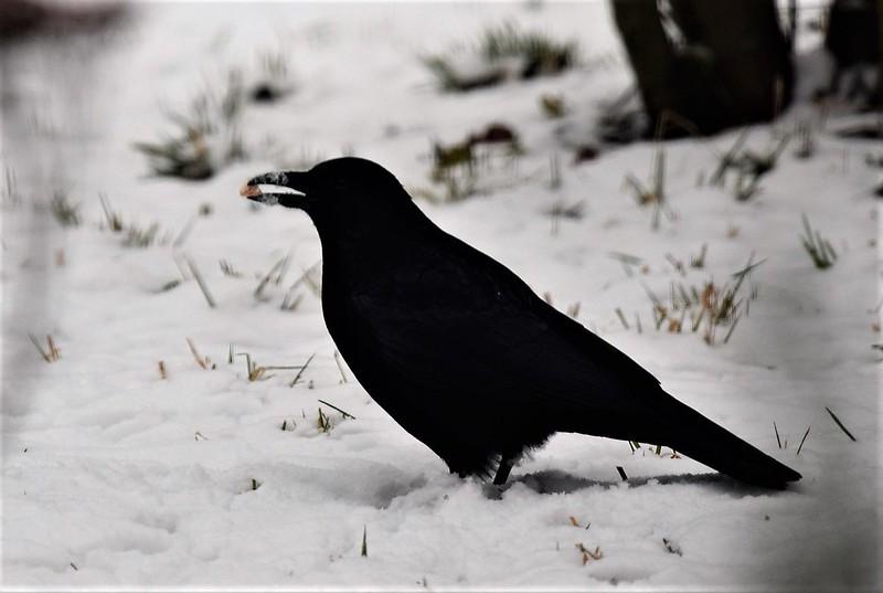 Crow 08.01 (8)