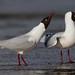 Brown-hooded Gull - Chroicocephalus maculipennis - Gaviota cáhuil