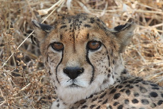 Image of  Cheetah Conservation Fund. namibia africa cheetahconservationfund cheetah otjiwarongo