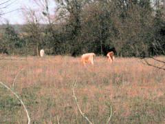 Cows off FM 85
