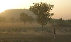 Herd in the dust