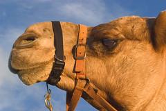 Camel Head on Sutton Beach=