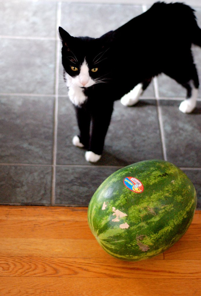 Cat Cornering Melon