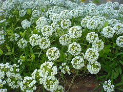 annual plant, iberis sempervirens, flower, candytuft, plant, herb,