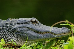 animal, crocodile, reptile, nile crocodile, fauna, american alligator, close-up, alligator, crocodilia, wildlife,
