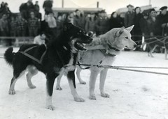 horse harness(0.0), animal(1.0), dog(1.0), winter(1.0), snow(1.0), pet(1.0), mammal(1.0), greenland dog(1.0), sled dog racing(1.0),
