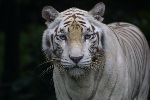 Siberian Tiger Singapore Zoo