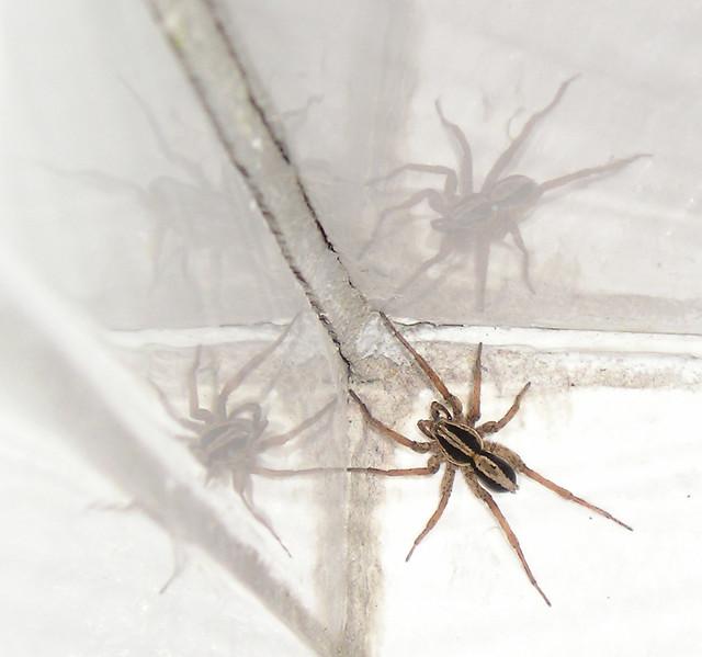 WEE BEASTIES SPIDER NO. 10 -  ARACHNAE FOUR BE US !