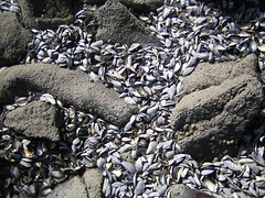Mussel graveyard