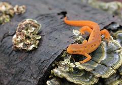 animal, amphibian, newt, salamander, fauna, wildlife,