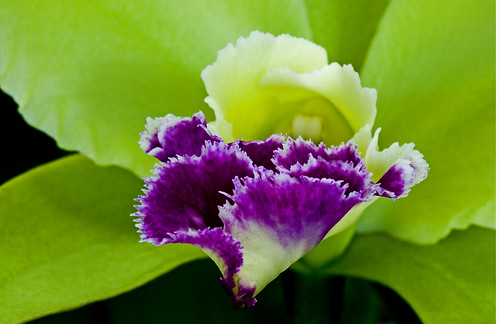 Beautiful Luscious Purple Piece of Paradise Orchid