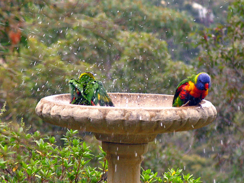 Rainbow Lorikeets Bath Time