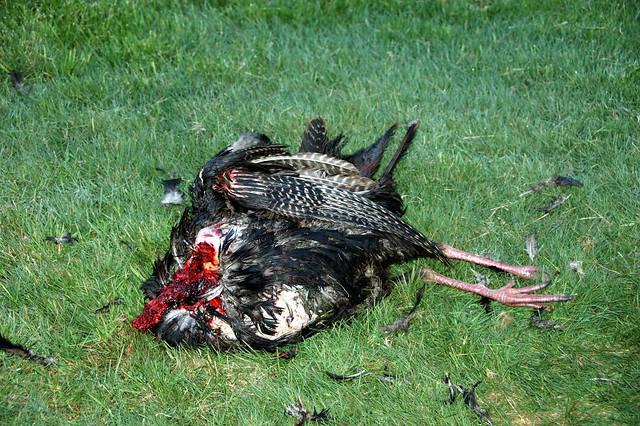 headless turkey remains