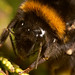 Bumblebee closeup by Lord V