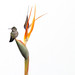 Hummingbird guarding Bird of Paradise blossoms at the Getty (detail)