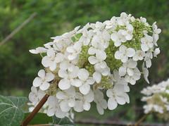 yarrow(0.0), blossom(0.0), shrub(0.0), produce(0.0), flower(1.0), branch(1.0), guelder rose(1.0), hydrangea serrata(1.0), plant(1.0), flora(1.0), hydrangeaceae(1.0),