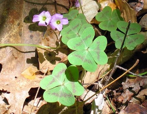 Violet wood-sorrel, Oxalis violacea
