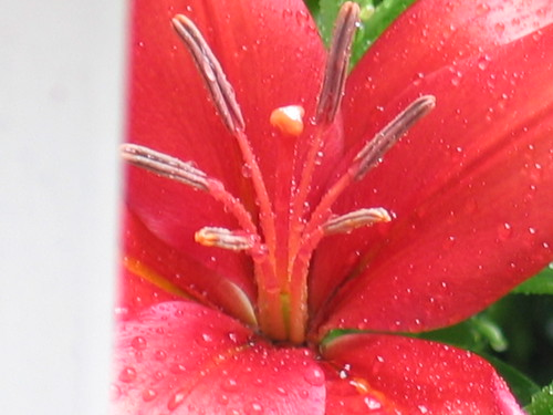 flowers red flower claire lily lilies g3 may7th