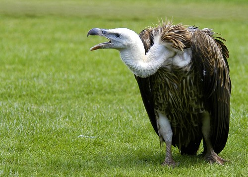 Squawking Griffen Vulture