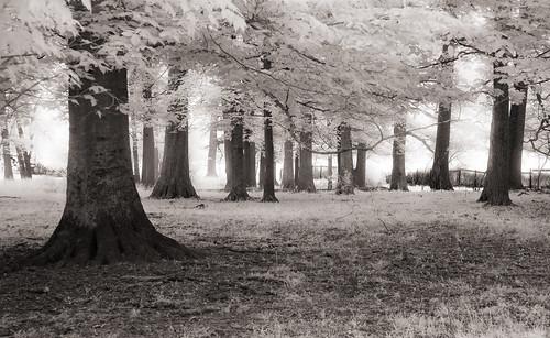 morning trees blackandwhite bw forest ir md may maryland 10d infrared portfolio dairyfarm sitesetbw dairyfarmroad
