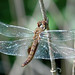 Spot-winged Glider - Photo (c) Marcia Cirillo, some rights reserved (CC BY-NC)
