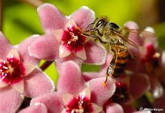 Bee on Hoya flowers
