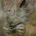 prairie dog close-up