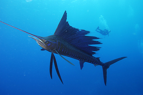 sailfish fastest fish of the world