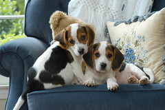 TwoCuteBeagles