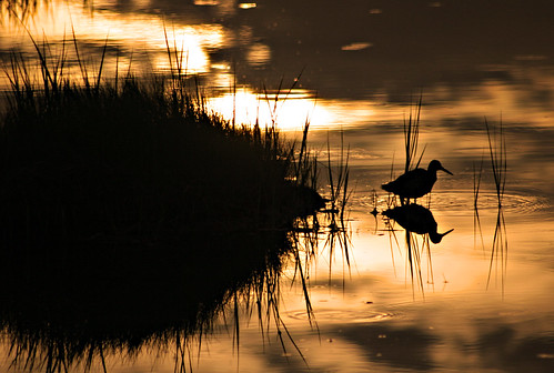 morning sun sunlight reflection bird water grass sunrise topv555 ripple canon20d maine reflect marsh portfolio topvaa shoothead exploretop20