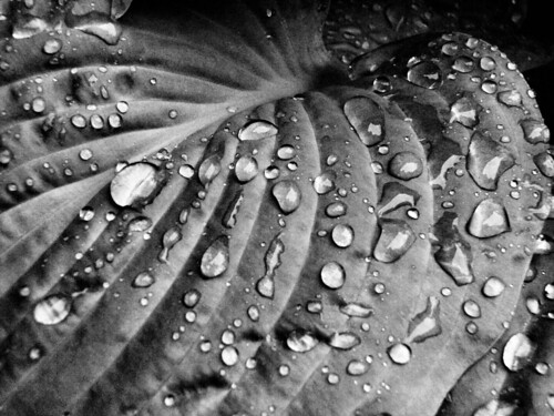 summer blackandwhite macro water leaves virginia raindrops hosta shenandoahvalley naturescene calendarshots theworldthroughmyeyes easternnorthamericanature blackandwhitenature markschurig