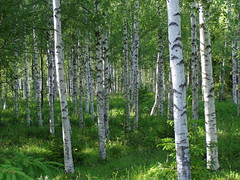 Birches in a summer meadow