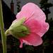 variation in my flowers