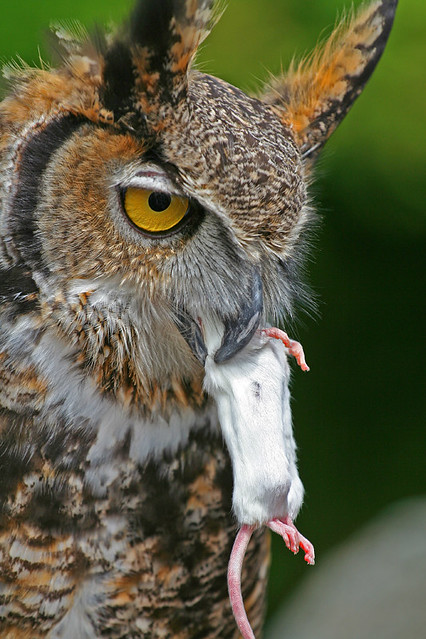 great horned owl eating flickr photo sharing