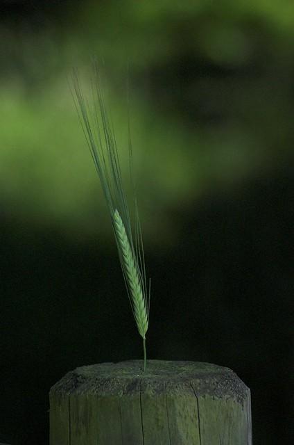Green Wheat Grain -2