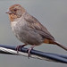 California Towhee - Photo (c) Lucina M, some rights reserved (CC BY-NC)