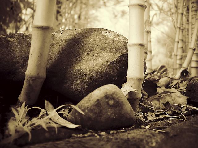 bamboo - (infrared photograph)